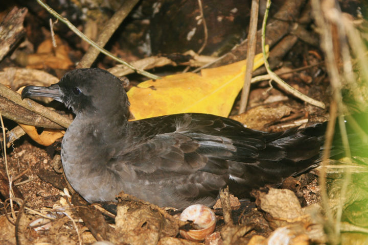 Cousin Wedged Tail shearwater